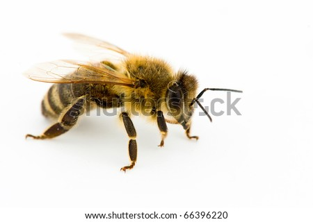 Isolated honeybee - stock photo