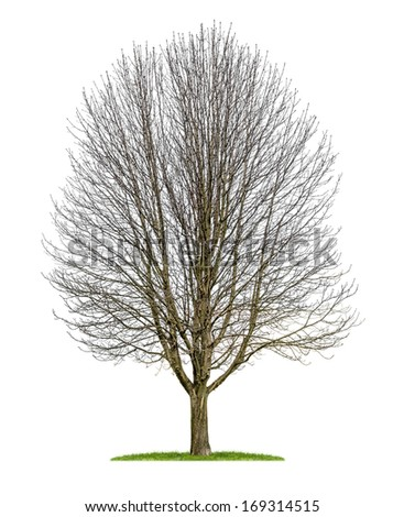isolated horse chestnut tree in the winter - stock photo