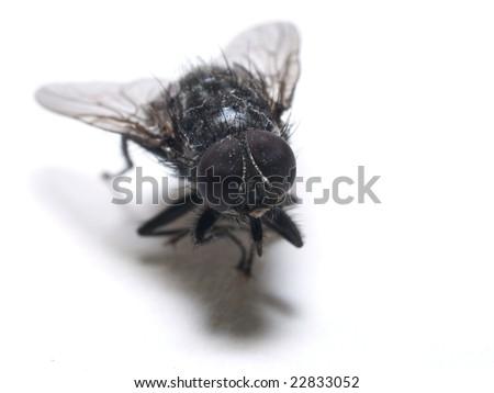 Isolated Housefly - stock photo