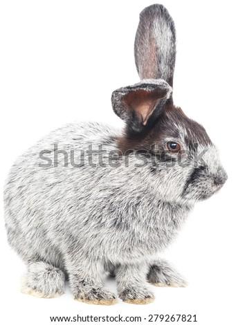 Isolated image of a gray bunny rabbit. - stock photo
