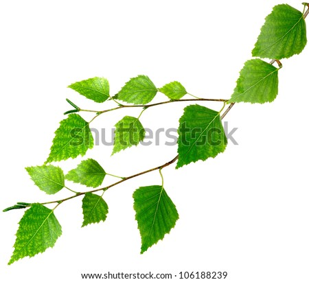 Isolated image of birch leaves on a white background - stock photo