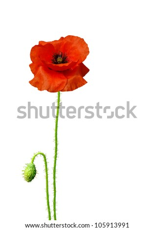 Isolated image of poppies on a white background - stock photo