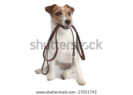 isolated jack russell terrier holding leather leach over white background - stock photo