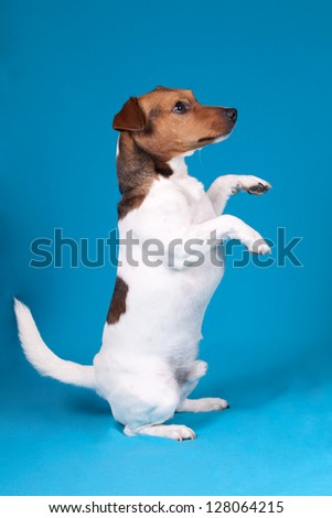 Isolated Jack Russell Terrier standing and begging over blue background - stock photo