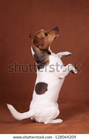 Isolated Jack Russell Terrier standing and begging over brown background - stock photo