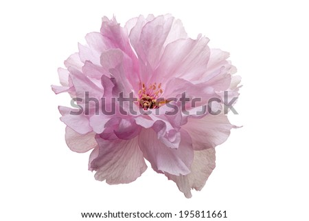 isolated japanese cherry blossom - stock photo