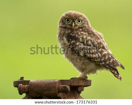 Isolated Juvenile little owl against green background - stock photo