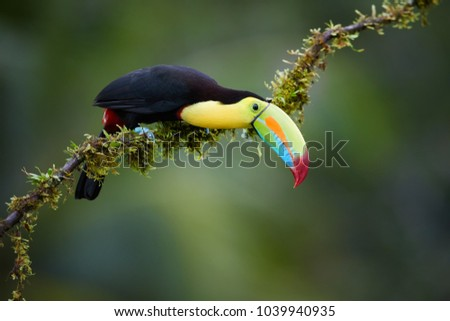 Isolated Keel-billed Toucan, Ramphastos sulfuratus, famous tropical bird with huge beak sitting on mossy branch in  tropical forest of Boca Tapada, Costa Rica. Wildlife photography in Central America.