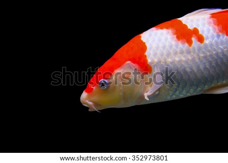 isolated Koi goldfish - stock photo