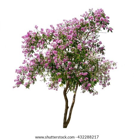 Isolated lagerstroemia speciosa tree pink purple stock photo edit isolated lagerstroemia speciosa tree with pink and purple flowers on white background mightylinksfo
