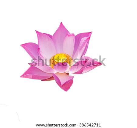 Isolated large lotus flower is very beautiful form - stock photo