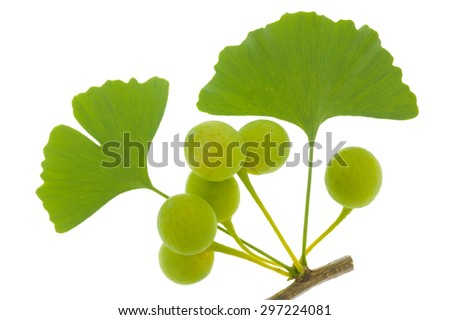 isolated leaf of ginkgo tree - stock photo