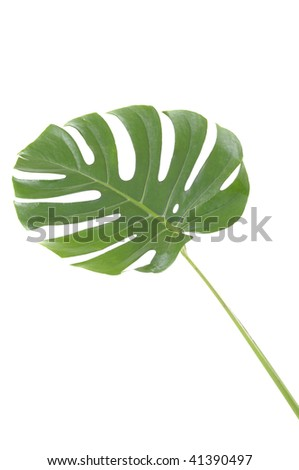 isolated leaf of monstera deliciosa