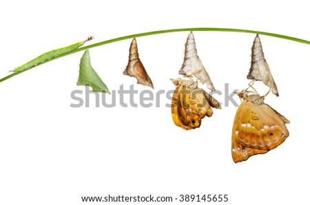Isolated life cycle of female black prince butterfly with clipping path - stock photo