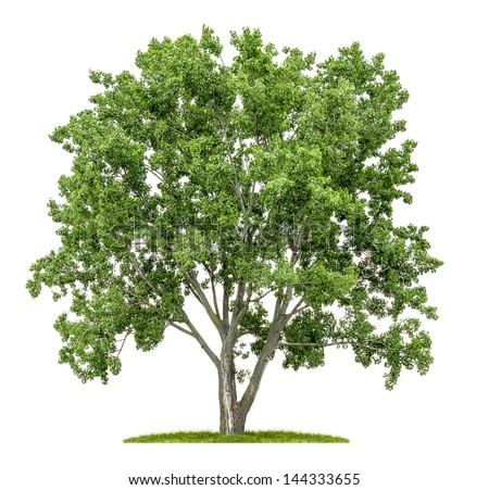 isolated lime tree on a white background - stock photo