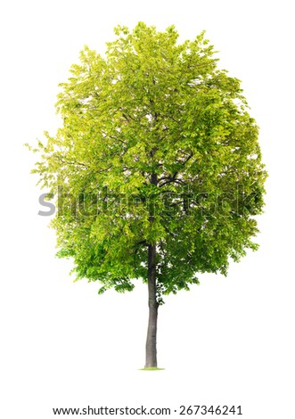 Isolated Linden tree - stock photo