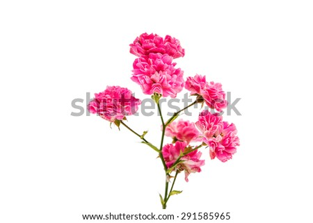 Isolated lonely fresh small pink rose