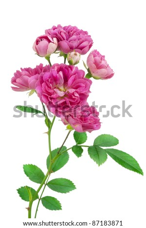 Isolated lonely fresh small  pink rose. Selective focus - stock photo