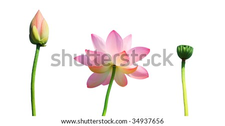 Isolated lotus bud,flower,and seedpod with path - stock photo