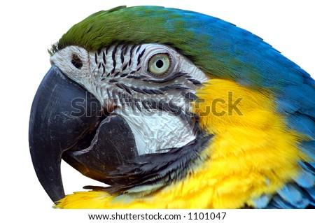 Isolated Macaw - stock photo