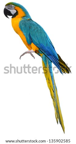 Isolated Macaw Parrot. White background