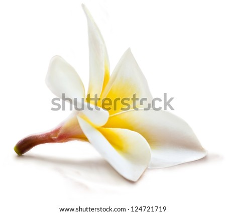 Isolated magnolia flower.