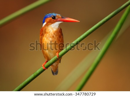 Isolated Malachite kingfisher Corythornis cristatus perching on stem of papyrus and looking for fish. Very colorful evening light and blurred background.  Murchisson Falls,  Nil, Uganda