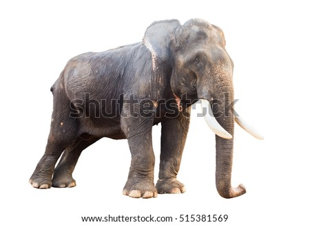 isolated male asian elephant with an abscess on the hip