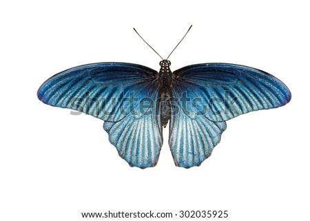 Isolated male great mormon butterfly on white with clipping path - stock photo