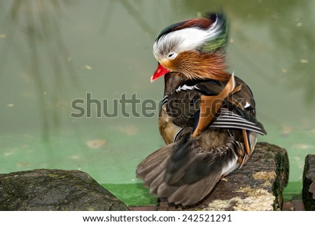 Isolated mandarin duck  on the green water background - stock photo