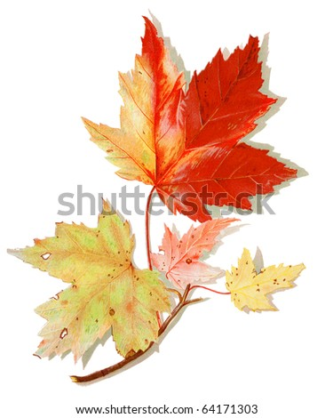 Isolated Maple leaves illustration with shadow - stock photo
