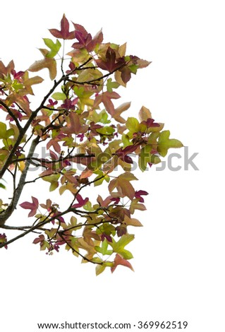 isolated maple tree branch