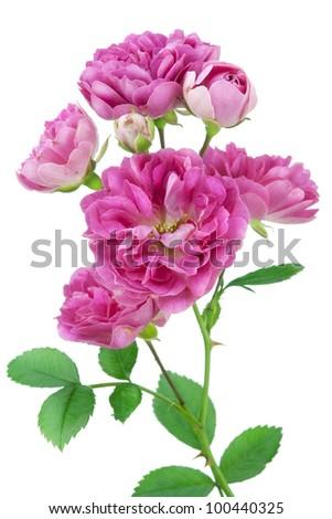 Isolated mini  pink garden flower macro. Strong selective focus - stock photo