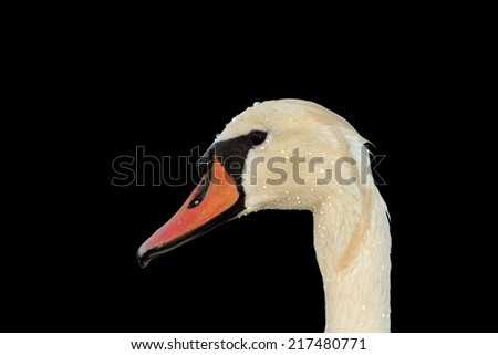 isolated mute swan portrait ( Cygnus olor ) over dark background - stock photo
