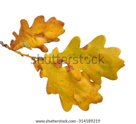 Isolated oak autumn leaves - stock photo