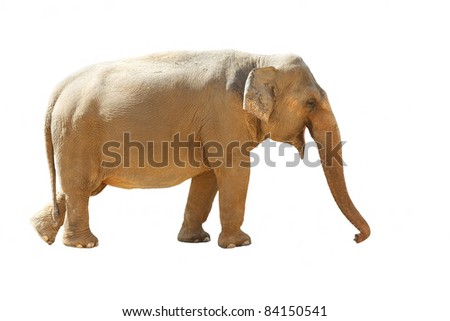 Isolated of an  Asian Elephants (Elephas maximus)
