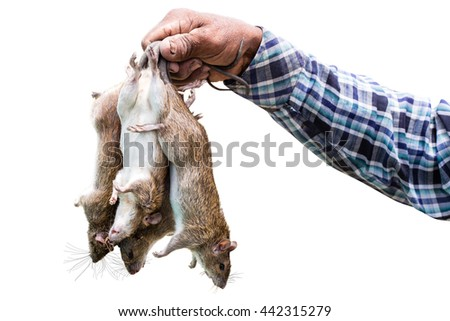 isolated of hand and mouse. The ricefield rat as the animals often destroy agricultural crops such as rice and other crops. The ricefield rat is a medium-sized rat.