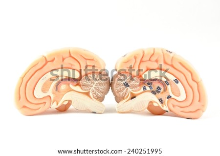 isolated of human brain - stock photo