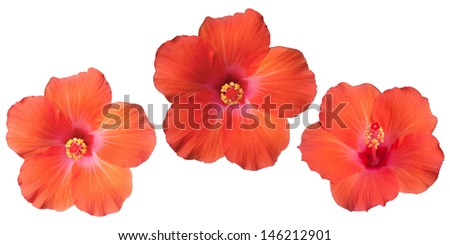 Isolated of orange hibiscus flower for three character. - stock photo
