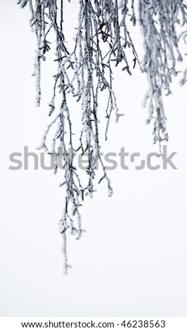 Isolated on white background are hanging birch tree branches