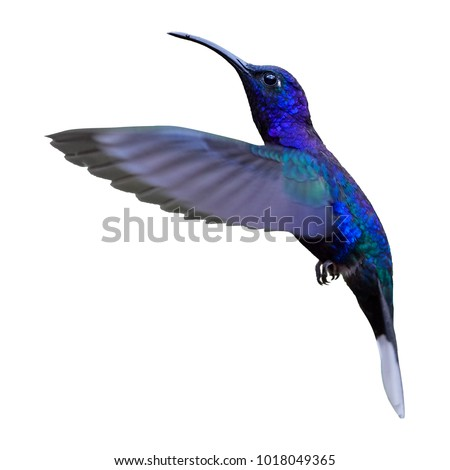 Isolated on white background, blue hummingbird, Campylopterus hemileucurus, glittering Violet Sabrewing hovering in the air. La Paz, Costa Rica.