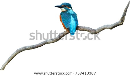 Isolated on white background, colorful, bright blue bird, Common Kingfisher  Alcedo atthis perched on twisted root.