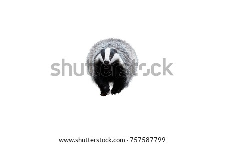 Isolated on white background, European badger, Meles meles. Ground level photo of black and white striped forest animal running directly at camera.