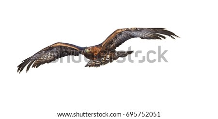 Isolated on white background, flying Golden eagle, Aquila chrysaetos, big bird of prey with  outstretched wings. Front view. Eagle flying directly at camera. Action photo.
