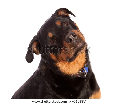 Isolated on white female rottweiler dog wearing a collar and tags