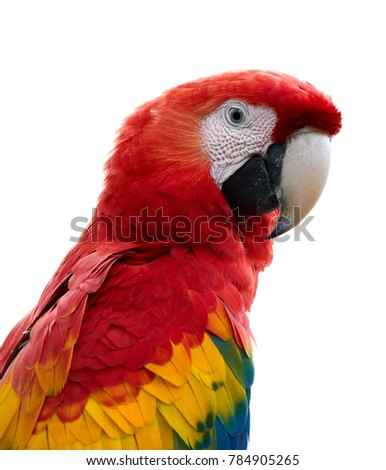Isolated on white, vertical portrait of very colorful parrot  red, yellow and blue Scarlet Macaw, Ara macao. Wildlife. Costa Rica, Central America.