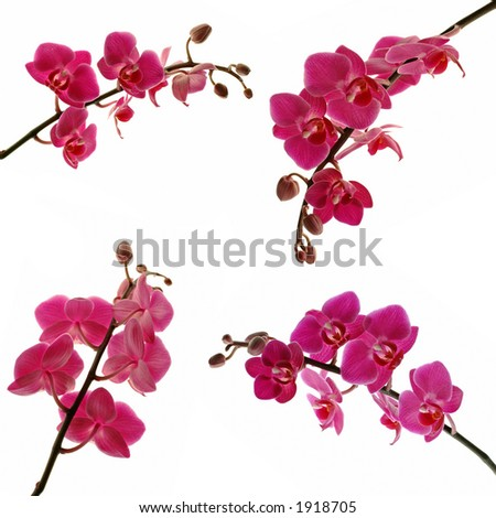 isolated orchids - stock photo