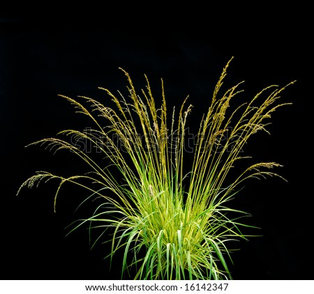 Black grass stock images royalty free images vectors for Dark ornamental grasses