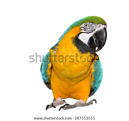 Isolated parrot white background.  Animal