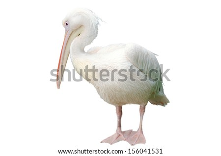 Isolated pelican on white background - stock photo